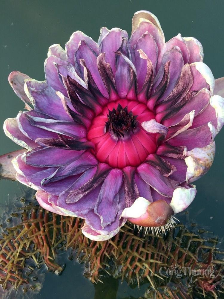 Đường kính hoa sen vua trung bình từ 30 - 40cm, to gấp đôi gấp 3 lần hoa súng thường