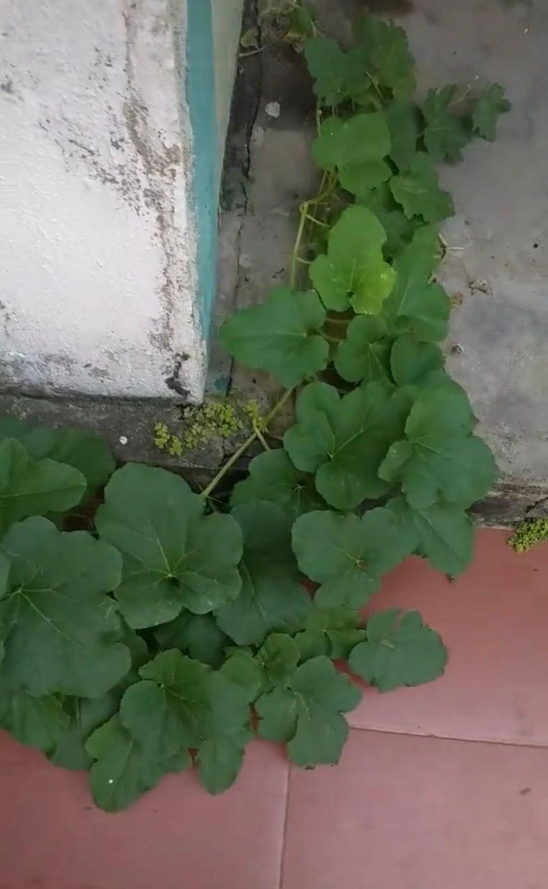 Rễ cây dưa nằm trong kẽ chân tường, không hiểu nó lấy dinh dưỡng từ đâu để mọc dài lê thê uốn quanh ngôi nhà như thế này nhỉ?