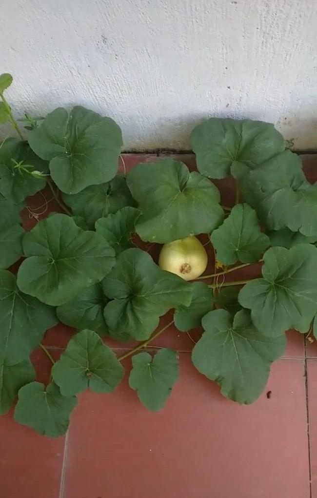 Một trái dưa xinh xinh khá to nằm lấp ló dưới đống dây leo, nhìn màu vỏ thì có lẽ đã chín.
