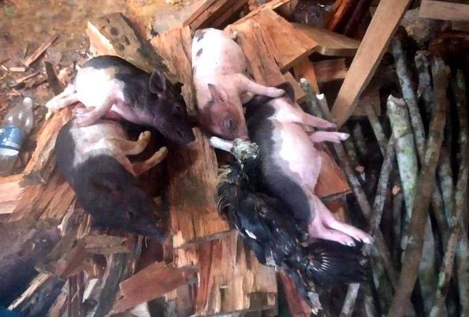 Heo, gà, vịt chết trong mưa lũ