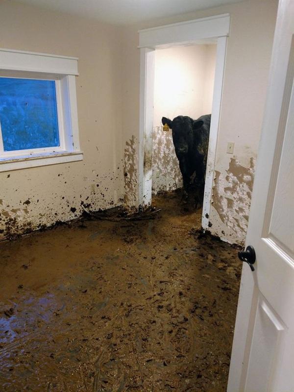 2. Một căn nhà ở Montana, Mỹ vừa mới xây xong, chủ còn chưa kịp đến ở thì đã bị 1 lũ bò chiếm giữ. 1 tháng sau họ mới bàng hoàng phát hiện ra sự thật kinh hoàng này. Ôi, tôi thật không còn biết nói gì nữa.