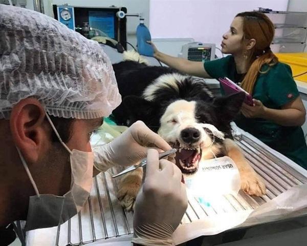 Chú chó được niềng răng và kiểm tra định kỳ.