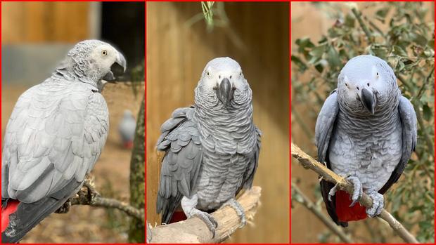 Ba trong số 5 chú vẹt thích chửi bậy