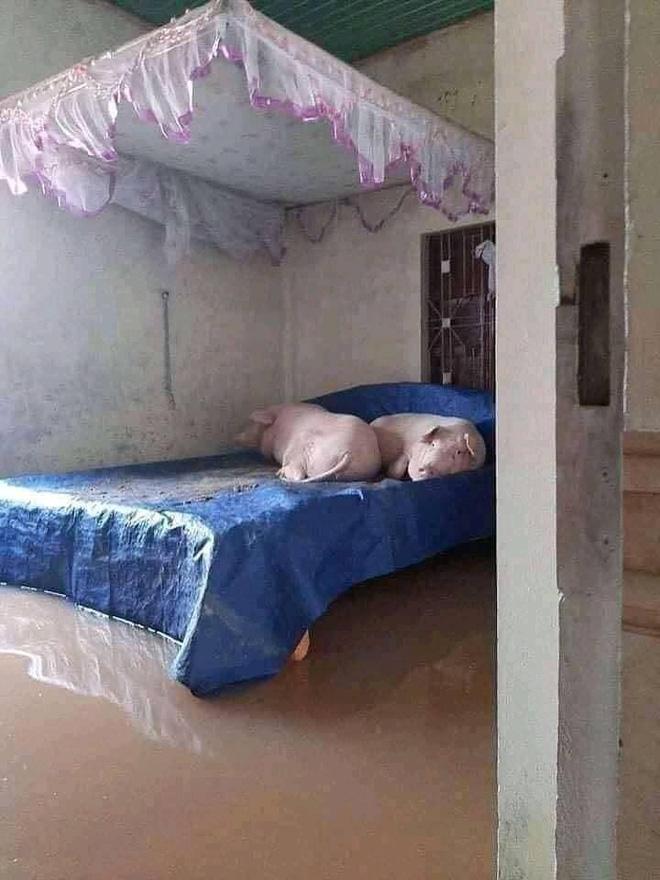 Người dân cho heo ngủ trên giường để tránh nước nhấn chìm
