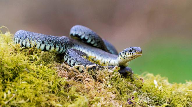 Rắn cỏ (grass snake). Ảnh: Woodland Trust