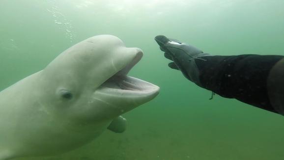 Cuộc chạm trán giữa thợ lặn và cá voi Beluga ngoài khơi đảoPopov