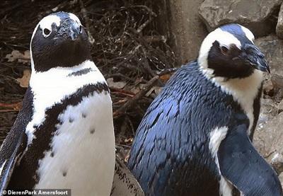 Hai chú cánh cụt đực thực hiện vụ đánh cắp trứng táo bạo