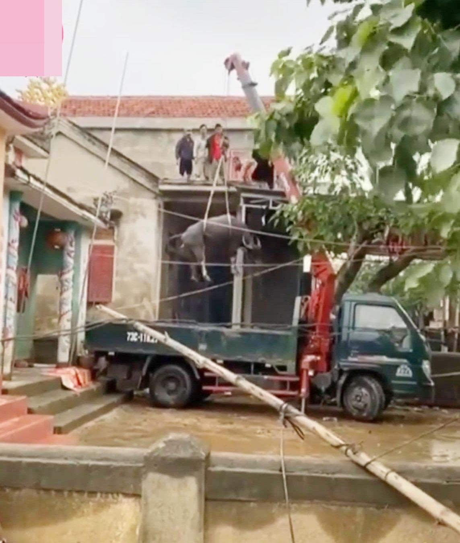 Đàn trâu được đưa xuống khỏi mái nhà bằng cần cẩu.