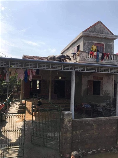 Hình ảnh chú trâu 'yên vị' trên mái nhà khiến nhiều người không khỏi ngạc nhiên