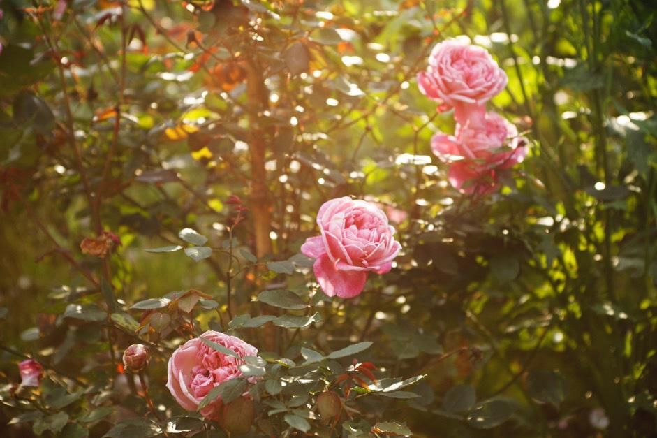 Du khách sẽ lạc bước vào một không gian lãng mạn với hàng nghìn bông hồng tại Lễ hội Hoa hồng và Rượu vang Sa Pa 2020