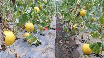 Vườn dưa vàng kim hoàng hậu 1.000m2 của Dương Văn Khoa mỗi năm cho thu nhập từ 200-300 triệu đồng.