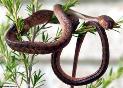 Một con rắn cây nâu.