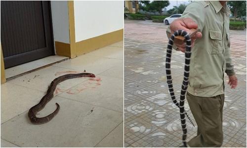 Rắn hổ mang, cạp nia xuất hiện trên địabàn xã Thạch Đài.