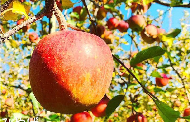 Quy trình trồng táo mật Nhật rất đặc biệt, mỗi cành chỉ để một quả