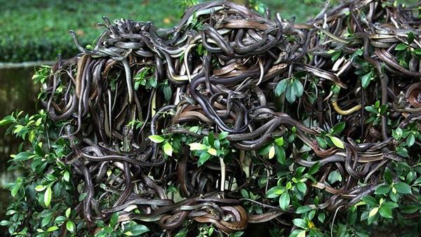 Bức ảnh ngập ngụa rắn được cho là chụp ở đảo Ilha da Queimada Grande nhưng không có thông tin xác thực.