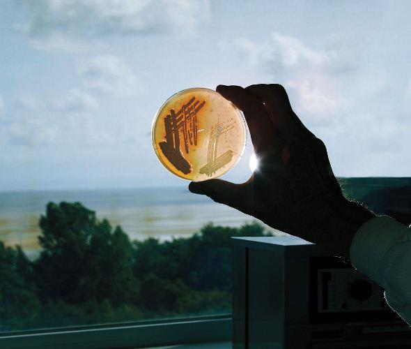 Mẫu nuôi xạ khuẩn thu được của phòng thí nghiệm ở Đại học Swansea (Wales, Anh).Ảnh nguồn: Jason Pietra