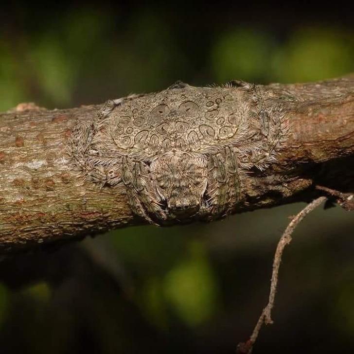 Nhện quấn - được đặt tên như vậy vì khả năng làm phẳng và quấn cơ thể quanh các chi của cây.