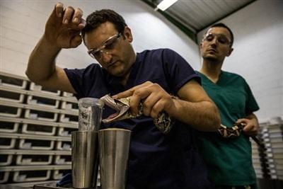Các chuyên gia đang chiết xuất nọc độc từ một loài rắn Gaboon viper Tây Phi cho phòng thí nghiệm Latoxan của Pháp, nơi cung cấp nguyên liệu cho các nhà sản xuất huyết thanh kháng nọc rắn trên toàn thế giới. Nọc độc có giá hàng ngàn đô la Mỹ một gram. Ảnh: National Geographic