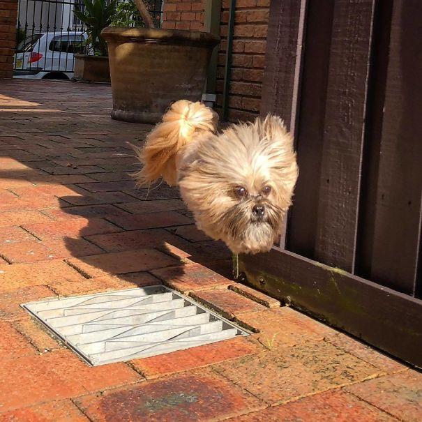 16. Cú nhảy xuất sắc của chú cún nhà tôi khiến nó biến thành siêu cún không mình.