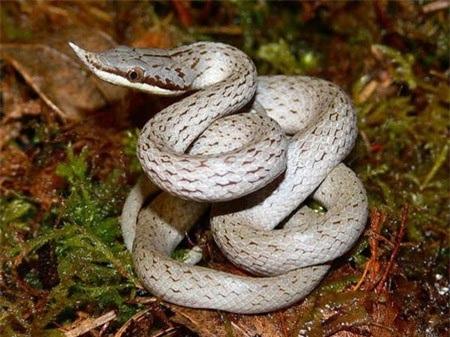 Đó là câu chuyện đã lưu truyền từ nhiều thế hệ về một loài rắn có mào
