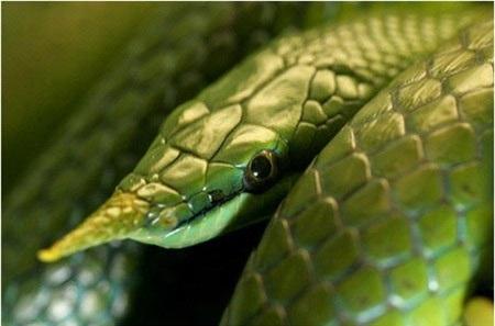Loài rắn đó không bao giờ cắn người nhưng ai cũng khiếp sợ vì chúng được cho là rắn thần, thường canh giữ các đền miếu…