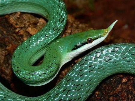 Nhưng ở Việt Nam, rắn voi còn liên quan tới một câu chuyện nhuốm màu kỳ bí