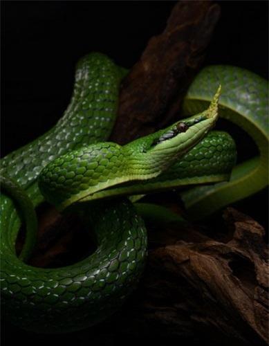 Trông đầy vẻ nguy hiểm, nhưng rắn voi là một loại rắn không có nọc độc, tính tình khá hiền lành