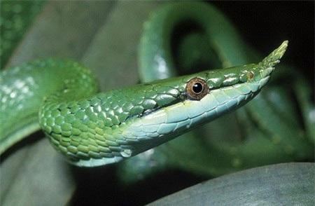 Khác với sừng của nhiều loài vật khác, chiếc sừng của rắn voi được tạo nên từ những chiếc vảy kéo dài