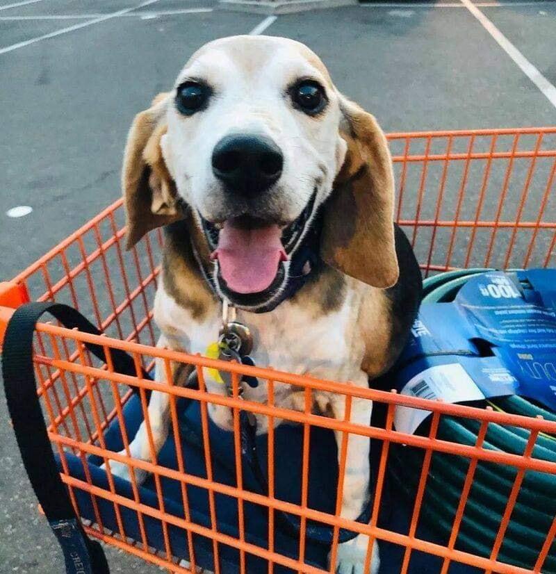Chú chó núc ních như hột mít khổng lồ lột xác ngoạn mục, giảm hơn 20kgsau 1 năm kiên trì tập thể dục 7