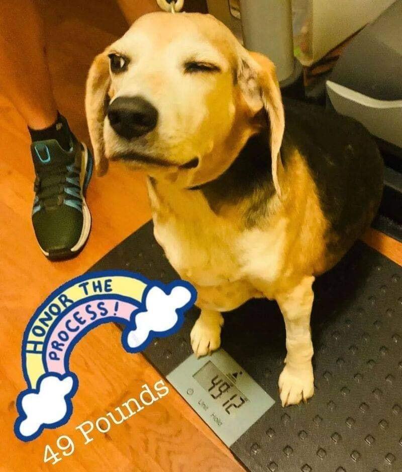 Chú chó núc ních như hột mít khổng lồ lột xác ngoạn mục, giảm hơn 20kgsau 1 năm kiên trì tập thể dục 8