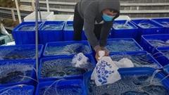 Cả ngàn tấn cá mú bí đầu ra, giá giảm một nửa vẫn khó 'giải cứu'