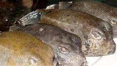 Nhận diện 'mỹ nhân ngư' - cá mặt thỏ vừa khiến người đàn ông ở Sài Gòn hôn mê, nguy kịch