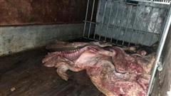 Tiêu hủy gần 1 tấn lợn mắc dịch tả lợn châu Phi chuẩn bị bán ra thị trường