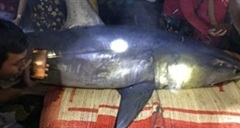Cá mập xanh 'khủng' dạt vào bờ biển Quảng Trị
