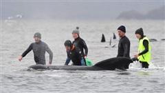 Chạy đua với thời gian để giải cứu đàn cá voi mắc cạn