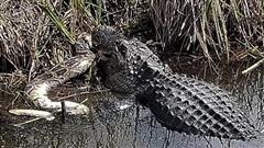 Kinh ngạc cá sấu lớn xé xác trăn khổng lồ