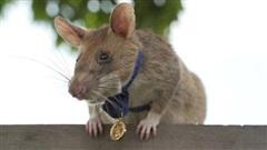 Trao huân chương cho chú chuột túi có thành tích dò bom mìn xuất sắc