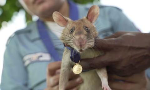 Chú chuột dò mìn được trao huân chương dũng cảm