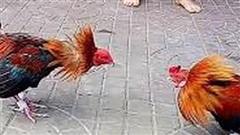Bị bắt vì nhận 1 tỉ đồng chạy án cho chủ trường gà ở Hóc Môn