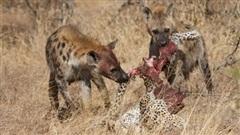 Bầy linh cẩu xé xác báo hoa mai: Nguyên nhân phía sau
