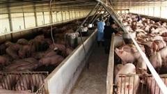 Giá lợn hơi giảm nhưng vẫn ở mức cao