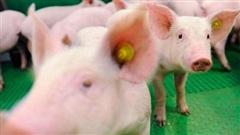 Sắp có trang trại 1.500 tỷ đồng cung cấp lợn giống 'chuẩn quốc tế' cho miền Trung - Tây Nguyên, Đông Nam Bộ