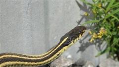 Lộ diện mùi hương 'sát thủ' khiến rắn độc sợ hãi, cả đời không dám tới gần