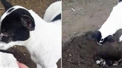 Xúc động cảnh tượng chó mẹ trực tiếp chôn chó con đã chết
