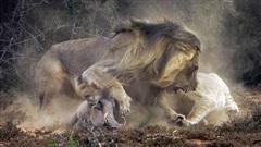 Lợn rừng kịch chiến đôi sư tử: Kết không như phim