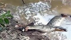 Săn lươn điện, cá sấu suýt bỏ mạng