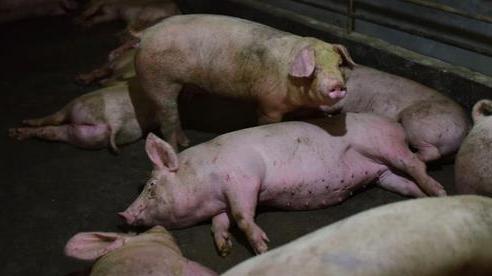Phát hiện chủng virus corona mới có thể lây từ lợn sang người