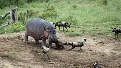 Hà mã và chó hoang đại chiến giành mồi: Kết hụt hẫng