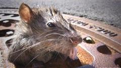 Thành phố có nhiều chuột nhất nước Mỹ