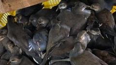 Bắt giữ xe khách chở hàng trăm con chim hoang dã